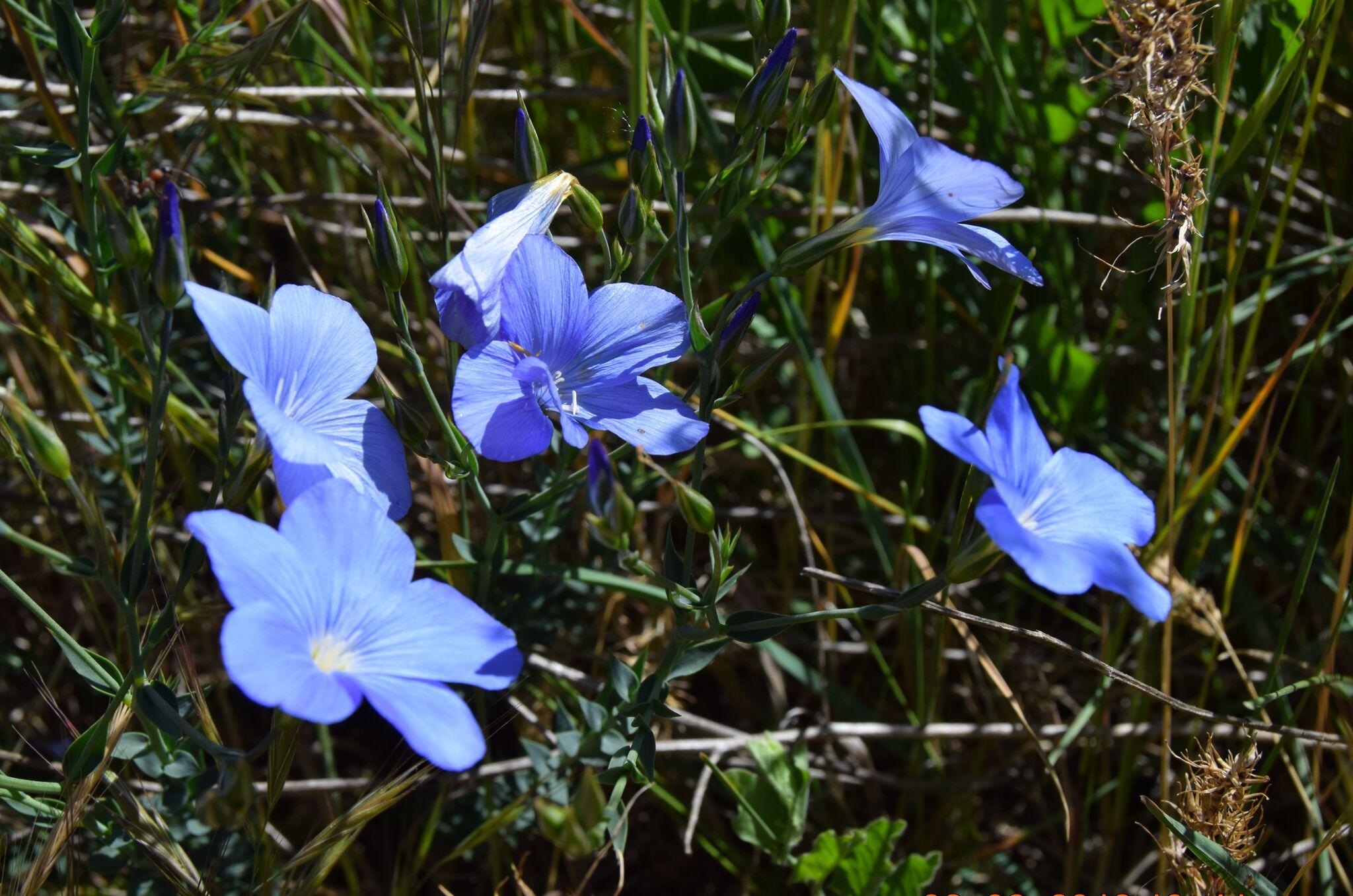 lino-azul